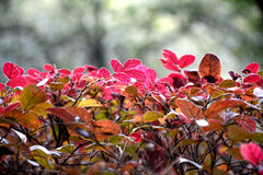 Beautiful Natural Red Leaves. Beautiful bush with red leaves growing in the wild stock photo