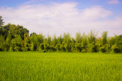 Beautiful natural scene with rice field in countryside of Thaila. Beautiful natural scene with rice field and trees in countryside of Thailand Stock Images