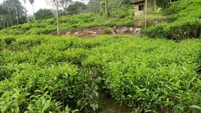 Beautiful natural tea plant this photo of srilanka stock images