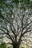 Beautiful natural vast pattern of giant raintree branches with fresh green leaves and sky background, portrait layout. Chiangmai, Thailand Stock Image