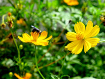 Beautiful natural. Yellow Flower and insect Royalty Free Stock Photo