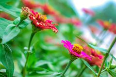 Zinnia flower with plant in the garden stock image