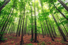 Free Beautiful Nature At Morning In The Misty Spring Forest With Sun Stock Photography - 65339492