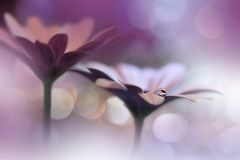 Beautiful Nature Background.Abstract Artistic Wallpaper.Art Macro Photography.Spring Flowers.Water Drop.Plant,pure.Colorful,violet Royalty Free Stock Photos