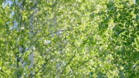 Beautiful nature background. Beams of light. Beautiful summer morning in the forest. Sunshine among branches of birch