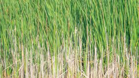 Beautiful nature background of green and brown reeds / grasses flowing in the wind - in the wetlands of the Crex Meadows Wildlife stock photography