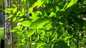 Beautiful nature background - green leaves of common ash, bright sun, near fence.  stock video footage