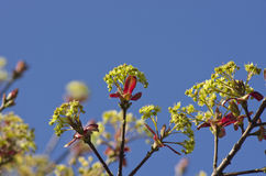 Beautiful nature background - green maple leaves, blue sky. Royalty Free Stock Photography