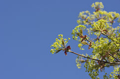 Beautiful nature background - green maple leaves, blue sky. Stock Photo