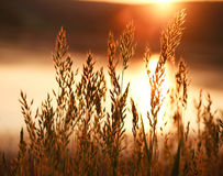 Beautiful nature background growing stalks of grass against suns Royalty Free Stock Photos