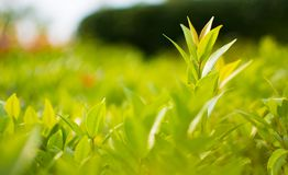 The beautiful nature background of Ixora leaves , a small tree with green leaves look like grass. Close Up of image in blurred bac. This is the close up picture royalty free stock images
