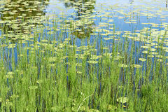Beautiful nature background with lake and water lilies Royalty Free Stock Photo