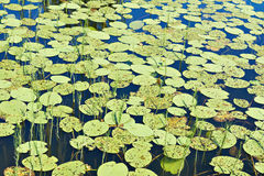 Beautiful nature background with lake and water lilies Royalty Free Stock Image