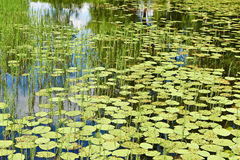 Beautiful nature background with lake and water lilies Royalty Free Stock Photos