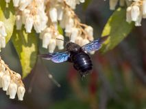 Beautiful nature background, macro insect, xylocopa stock images