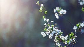 Beautiful nature background. Summer, spring concepts. Copy space. Branches of blossoming cherry. In nature in the rays of the sunset warm sunlight with royalty free stock photography