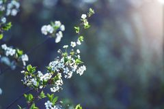 Beautiful nature background. Summer, spring concepts. Copy space. Branches of blossoming cherry. In nature in the rays of the sunset warm sunlight with stock photos