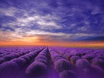 Beautiful Nature Background.Violet Wallpaper.Lavender Flowers.Summer Sunset Landscape.Blue Sky,clouds.Aroma,field.Summertime,photo Stock Photo