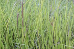 Bladygrass close up background of green leaves stock photo