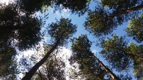 Beautiful nature. Blue sky big trees Royalty Free Stock Image