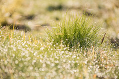 Beautiful nature blurred dew drop on green grass in the marning Royalty Free Stock Photography
