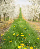 Beautiful nature in the cherry orchard Royalty Free Stock Photo