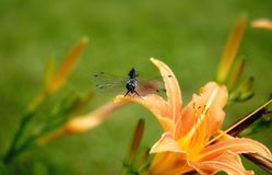 Dragonfly green backgrounds orange lily. Beautiful nature close-up outdoors no people day orange green color nature leaf lily dragonfly backgrounds macro summer royalty free stock photos