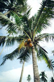 beautiful nature, coconut tree over cloudy blue sky background Royalty Free Stock Photos