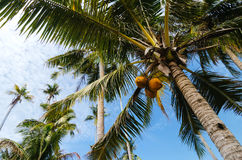 Beautiful nature, coconut tree under cloudy blue sky background Royalty Free Stock Photo