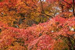 Beautiful nature colourful tree leaves in Japanese zen garden. In autumn season at Kyoto,Japan Stock Images