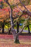 Beautiful nature colourful tree leaves in Japanese zen garden. In autumn season at Kyoto,Japan Royalty Free Stock Photography