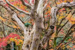Beautiful nature colourful tree leaves in Japanese zen garden. In autumn season at Kyoto,Japan Royalty Free Stock Photos