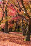 Beautiful nature colourful tree leaves in Japanese zen garden. In autumn season at Kyoto,Japan Stock Image