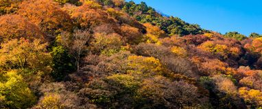 Colourful tree leaves on mountain at Arashiyama,Kyoto. Beautiful nature colourful tree leaves on mountain at Arashiyama in autumn season in Kyoto, Japan Royalty Free Stock Photo