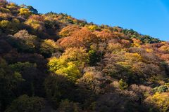 Colourful tree leaves on mountain at Arashiyama,Kyoto. Beautiful nature colourful tree leaves on mountain at Arashiyama in autumn season in Kyoto, Japan Royalty Free Stock Image