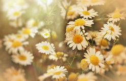 Beautiful nature - daisy flower (wild chamomile) Royalty Free Stock Photo