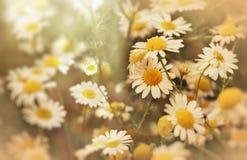 Beautiful nature - daisy flower (wild chamomile) Royalty Free Stock Photo