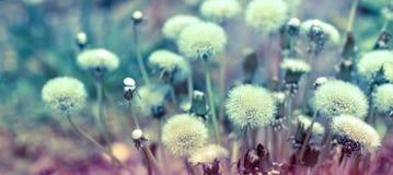 Beautiful nature - Dandelion seeds Stock Photography