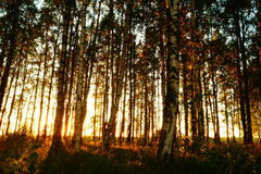 Beautiful nature at evening in the summer forest on the sunset Stock Photography