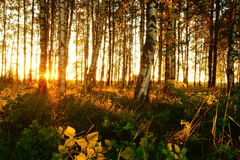 Beautiful nature at evening in the summer forest on the sunset Stock Images