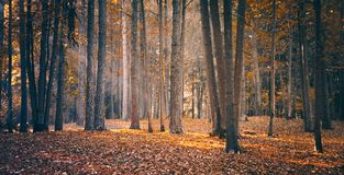 Beautiful Nature Fall landscape forest on Sunny autumn day. Beautiful Panoramic Nature Fall landscape, selective focus. Picturesque view of the autumn forest in royalty free stock photography