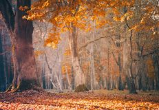 Beautiful Nature Fall landscape forest on Sunny autumn day. Beautiful Nature Fall landscape, selective focus. Picturesque view of the autumn forest. Old oak tree royalty free stock images