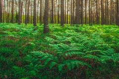 Fern plants in forest