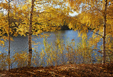Autumn, beautiful day in fall season. Beautiful nature landscape, golden trees Birch in sunny day in fall season stock images