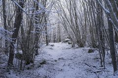 Beautiful nature and landscape photo of Swedish winter forest and trees. Nice cold day in the wood. Lovely details of branches with snow and frost. Calm royalty free stock photo