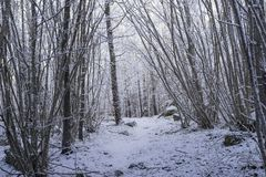 Beautiful nature and landscape photo of Swedish winter forest and trees. Nice cold day in the wood. Lovely details of branches with snow and frost. Calm royalty free stock photos