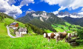 Beautiful nature landscapes - pastures of Dolomites. Scenery of northen Italy - Dolomites view and green pastures with cows Stock Images