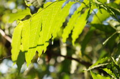 Beautiful nature of leaf in Chacheongsao Royalty Free Stock Photos