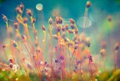 Beautiful nature macro. Tiny marsh plants Capsules of common hair moss, Polytrichum commune. macro, Lithuania swamp stock photo