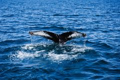 Humpback whale tail breaching, on whale watching trip, on Iceland royalty free stock photo